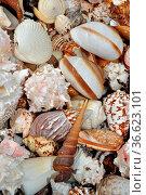 Meeresschnecken, Meeresschnecke, schnecke, schnecke, schneckenhaus... Стоковое фото, фотограф Zoonar.com/Volker Rauch / easy Fotostock / Фотобанк Лори
