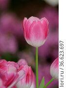Tulpen, tulpe, tulpenwiese, blume, blumen, pink, rosa, blumenwiese... Стоковое фото, фотограф Zoonar.com/Volker Rauch / easy Fotostock / Фотобанк Лори