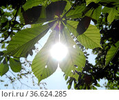 Blätter, Rosskastanie, natur, blatt, zweig, ast, baum, bäume, parkbaum... Стоковое фото, фотограф Zoonar.com/Volker Rauch / easy Fotostock / Фотобанк Лори