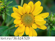 Garten Sonnenauge in voller Blütenpracht. Стоковое фото, фотограф Zoonar.com/Kay Augustin / easy Fotostock / Фотобанк Лори