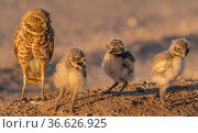 Burrowing owl (Athene cunicularia) parent with chicks on ground making their first appearance outside the burrow, Marana irrigated farm fields, Marana, Arizona, USA. Стоковое фото, фотограф Jack Dykinga / Nature Picture Library / Фотобанк Лори
