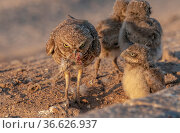 Burrowing owl (Athene cunicularia) female and three chicks. Female with remains of her fourth chick in mouth which she has been eating, Marana, Arizona, USA. Стоковое фото, фотограф Jack Dykinga / Nature Picture Library / Фотобанк Лори