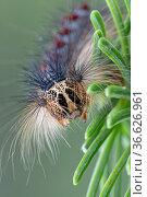 Caterpillar of European Gypsy moth ( Lymantria dispar) on pine branch, Brasschaat, Belgium, July. Стоковое фото, фотограф Bernard Castelein / Nature Picture Library / Фотобанк Лори