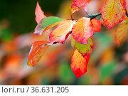 Herbstlich verfärbte Blütter der Buche. Autumnal colored leaves of... Стоковое фото, фотограф Zoonar.com/Kai Schirmer / easy Fotostock / Фотобанк Лори