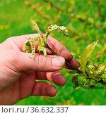 Kräuselkrankheit - Leaf curl 07. Стоковое фото, фотограф Zoonar.com/LIANEM / easy Fotostock / Фотобанк Лори