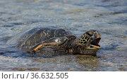 Green sea turtle (Chelonia mydas) on a beach of Kauai, Hawaii. Стоковое фото, фотограф Héctor Cordero / age Fotostock / Фотобанк Лори
