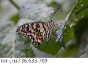 A lime butterfly (Papilio demoleus) rests on a leaf after a light rain the Jardin Botanico de Santo Domingo, Dominican Republic. This species was introduced... Стоковое фото, фотограф Eladio Fernandez / Nature Picture Library / Фотобанк Лори