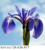 Sumpfiris, Iris, versicolor, Blaue Sumpf-Schwertlilie, Стоковое фото, фотограф Zoonar.com/Manfred Ruckszio / age Fotostock / Фотобанк Лори