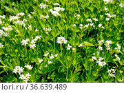 Waldmeister, Galium, odoratum. Стоковое фото, фотограф Zoonar.com/Manfred Ruckszio / easy Fotostock / Фотобанк Лори