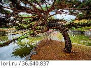 Pine tree in Yeouido Park public park in Seoul, Korea. Стоковое фото, фотограф Zoonar.com/Dmitry Rukhlenko / easy Fotostock / Фотобанк Лори