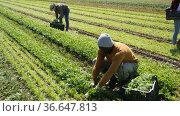 Portrait of african-american man engaged arugula in cultivation on the field. Стоковое видео, видеограф Яков Филимонов / Фотобанк Лори