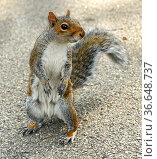Eastern gray squirrel (Sciurus carolinensis), also known as simply grey squirrel, stands and thinks in Central Park, NYC. Стоковое фото, фотограф Валерия Попова / Фотобанк Лори