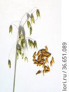 Hafer, Avena sativa, Getreide. Стоковое фото, фотограф Zoonar.com/Manfred Ruckszio / age Fotostock / Фотобанк Лори
