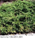 Sibirischer Zwerg-Lebensbaum, Microbiota decussata, Стоковое фото, фотограф Zoonar.com/Manfred Ruckszio / age Fotostock / Фотобанк Лори