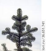 Nobilis-Tanne, Edel-Tanne, Abies, procera, nobilis, Стоковое фото, фотограф Zoonar.com/Manfred Ruckszio / age Fotostock / Фотобанк Лори