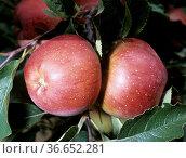 Super Melred Apfel, Apfelsorte, Apfel, Kernobst, Obst, Стоковое фото, фотограф Zoonar.com/Manfred Ruckszio / age Fotostock / Фотобанк Лори