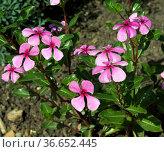 Madagaskar-Immergruen, Cathranthus roseus, - Стоковое фото, фотограф Zoonar.com/Manfred Ruckszio / age Fotostock / Фотобанк Лори
