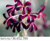 Kapland-Pelargonie, Pelargonium sidoides. Стоковое фото, фотограф Zoonar.com/Manfred Ruckszio / age Fotostock / Фотобанк Лори