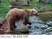 Braunbär. Стоковое фото, фотограф Zoonar.com/Martina Berg / easy Fotostock / Фотобанк Лори