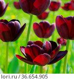 Tulpe Queen of Night - tulip Queen of Night 02. Стоковое фото, фотограф Zoonar.com/LIANEM / easy Fotostock / Фотобанк Лори