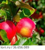 Apfel am Baum - apple on tree 150. Стоковое фото, фотограф Zoonar.com/Liane Matrisch / easy Fotostock / Фотобанк Лори