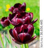 Tulpe Queen of Night - tulip Queen of Night 06. Стоковое фото, фотограф Zoonar.com/LIANEM / easy Fotostock / Фотобанк Лори