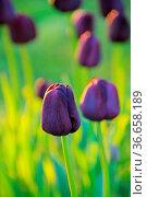 Tulpe Queen of Night - tulip Queen of Night 09. Стоковое фото, фотограф Zoonar.com/LIANEM / easy Fotostock / Фотобанк Лори