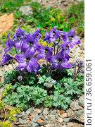 Centaury (Gentiana dshimilensis or Gentianella caucasea) on Alpine... Стоковое фото, фотограф Zoonar.com/Maximilian Buzun / easy Fotostock / Фотобанк Лори