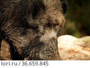 Wildschwein, Sus Scrofa, wild pic Kopfportrait, Borsten mit Schlamm... Стоковое фото, фотограф Zoonar.com/© Jens Schmitz / easy Fotostock / Фотобанк Лори