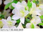 Azalee weiss - azalea white 01. Стоковое фото, фотограф Zoonar.com/LIANEM / easy Fotostock / Фотобанк Лори