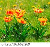 Tulpe rot gelb - tulip red yellow 06. Стоковое фото, фотограф Zoonar.com/LIANEM / easy Fotostock / Фотобанк Лори