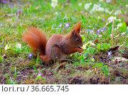 Eichhoernchen - Red squirrel 01. Стоковое фото, фотограф Zoonar.com/LIANEM / easy Fotostock / Фотобанк Лори
