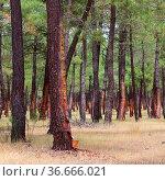 Pinienwald Harzgewinnung - pine forest resin extraction 02. Стоковое фото, фотограф Zoonar.com/Liane Matrisch / easy Fotostock / Фотобанк Лори