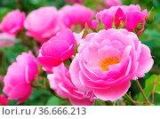 Rose Bow Bells 01. Стоковое фото, фотограф Zoonar.com/LIANEM / easy Fotostock / Фотобанк Лори
