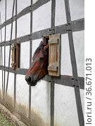 Pferd guckt aus einem Fenster in einem Fachwerkhaus. Стоковое фото, фотограф Zoonar.com/Martina Berg / easy Fotostock / Фотобанк Лори