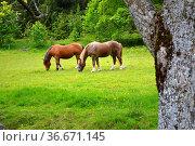 Schwarzwald, Baden-Württemberg, Hochschwarzwald, zwei Schwarzwälder... Стоковое фото, фотограф Zoonar.com/Bildagentur Geduldig / easy Fotostock / Фотобанк Лори