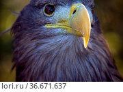 Adults White-tailed eagle (Haliaeetus albicilla) portrait. Стоковое фото, фотограф Zoonar.com/Maximilian Buzun / easy Fotostock / Фотобанк Лори