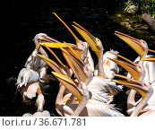 The Great White Pelican, Pelecanus onocrotalus also known as the rosy... Стоковое фото, фотограф Zoonar.com/Rudolf Ernst / easy Fotostock / Фотобанк Лори