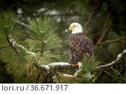 A majestic bald eagle is perched on a tree covered with snow near... Стоковое фото, фотограф Zoonar.com/Gregory Johnston / easy Fotostock / Фотобанк Лори