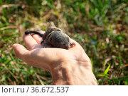 Indian palm squirrel (Funambulus palmarium) pup in hand, a kit about... Стоковое фото, фотограф Zoonar.com/Maximilian Buzun / easy Fotostock / Фотобанк Лори