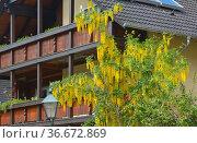 Goldregen blühend am Haus, Gemeiner Goldregen (Laburnum anagyroides) Стоковое фото, фотограф Zoonar.com/Bildagentur Geduldig / easy Fotostock / Фотобанк Лори