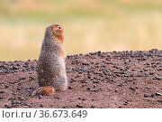 Back view of a artic ground squirrel standing up. Стоковое фото, фотограф Zoonar.com/Amelia Martin/akchamczuk / easy Fotostock / Фотобанк Лори