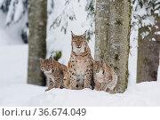 Eurasischer Luchs Familie ,Lynx lynx, eurasian lynx family. Стоковое фото, фотограф Zoonar.com/Christophbosch@gmx.de / easy Fotostock / Фотобанк Лори