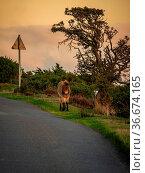 A wild Exmoor Pony and a sheep, seen on Porlock Hill in Somerset,... Стоковое фото, фотограф Zoonar.com/Bernd Brueggemann / easy Fotostock / Фотобанк Лори