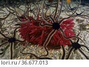Black brittle Star (Ophiocomina nigra) covering Red seaweed (Scinaia... Стоковое фото, фотограф Marevision / age Fotostock / Фотобанк Лори