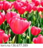 Tulpe rot - tulip red 26. Стоковое фото, фотограф Zoonar.com/LIANEM / easy Fotostock / Фотобанк Лори