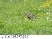 Grosser Brachvogel, Numenius arquata, Eurasian Curlew. Стоковое фото, фотограф Zoonar.com/CHRISTOPHBOSCH@GMX.DE / easy Fotostock / Фотобанк Лори