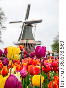 Fabulous landscape of Mill wind and tulips in Holland. Стоковое фото, фотограф Zoonar.com/Yuri Dmitrienko / easy Fotostock / Фотобанк Лори