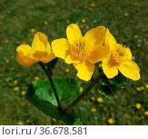 Sumpfdotterblume, Caltha, palustris. Стоковое фото, фотограф Zoonar.com/Manfred Ruckszio / easy Fotostock / Фотобанк Лори