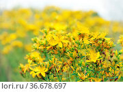 Yellow beautiful flowers of medical St.-John's wort blossoming in... Стоковое фото, фотограф Zoonar.com/Alexmak7 / easy Fotostock / Фотобанк Лори